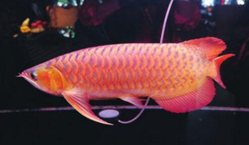 男子火化金龙鱼 宠物公司惊叹金龙鱼珍贵的原因